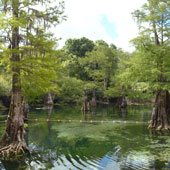Cypress trees growing in the cool waters of Rock Bluff Springs.