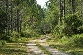 Dirt trail winding through tall pine trees