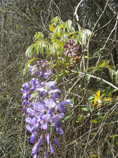 Drooping wisteria growing in thick vegetation.