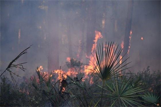 Fire moving up the side of tall pine trees in the backgroup with green palms in the foreground.