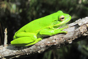 Bright Green Tree Frog